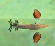 Robin reflected in the island. Robin reflected on the river bank Royalty Free Stock Photography