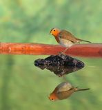 Robin reflected in river. Stock Image