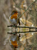 Robin with reflection. Royalty Free Stock Images