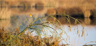 Robin relaxing on a twig. Oisterwijk, The Netherlands Stock Photo