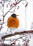 Cold Feet - Robin in Winter. A robin rests upon a crabapple tree branch covered in snow Stock Photography