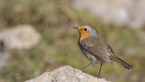Robin on Rock stock photo