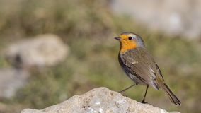 Robin on Rock Looking Around royalty free stock images