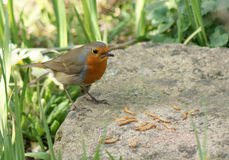 Robin on a rock with lunch Royalty Free Stock Photos
