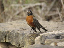 Robin on a Rock Wall Royalty Free Stock Image