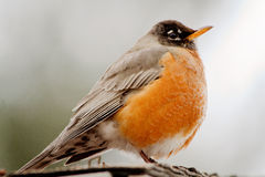 Robin on the roof Stock Image