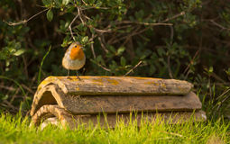 Robin on roof tiles Royalty Free Stock Image