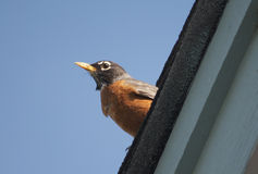 Robin on rooftop Royalty Free Stock Images