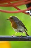 Robin rosso Fotografia Stock