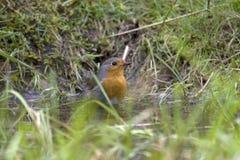 Robin rosso cattura un bagno Fotografia Stock