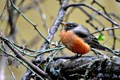 Robin rosso, ha soffiato su contro il giorno umido freddo fotografia stock libera da diritti