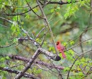 Robin rouge Image libre de droits