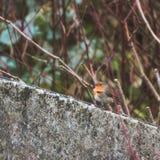 Robin rouge Photographie stock libre de droits