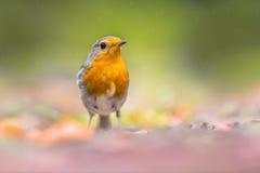 Robin rouge curieux Images libres de droits