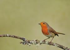 Robin (rubecula d'Erithacus) Image libre de droits