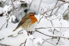 Robin, rubecula d'Erithacus Photos libres de droits
