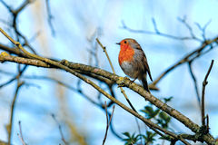 Robin (rubecula d'Erithacus) Images stock