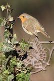Robin, rubecula d'Erithacus Image libre de droits