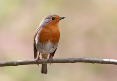 Robin (rubecula d'erithacus) Images libres de droits