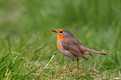 Robin (rubecula d'erithacus) Photo stock