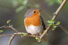 Robin (rubecula d'erithacus) Photographie stock
