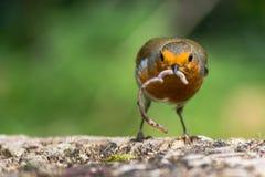 Robin (rubecula d'Erithacus) avec le ver Images stock