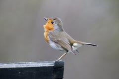 Robin, rubecula del Erithacus Fotografia Stock Libera da Diritti