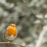Robin (rubecula del Erithacus) Immagini Stock Libere da Diritti