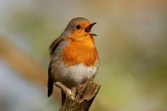 Robin - rubecula del Erithacus Immagini Stock
