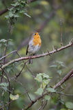 Robin, rubecula del Erithacus Fotografie Stock