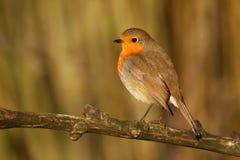 Robin - rubecula del Erithacus Immagine Stock Libera da Diritti