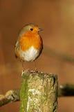 Robin - rubecula del Erithacus Immagine Stock