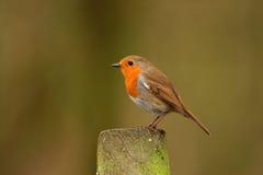 Robin - rubecula del Erithacus Fotografie Stock