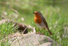Robin (rubecula del erithacus) Immagine Stock Libera da Diritti