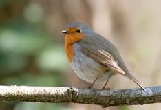 Robin (rubecula del erithacus) Fotografia Stock