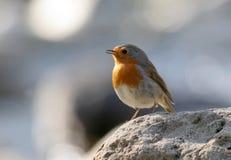 Robin (rubecula del erithacus) Fotografie Stock Libere da Diritti