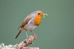Robin (rubecula del Erithacus) si è appollaiato su un alimento della tenuta del ramo per Fotografia Stock Libera da Diritti