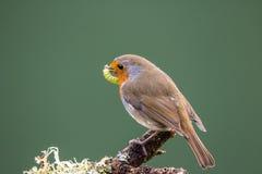 Robin (rubecula del Erithacus) si è appollaiato su un ramo che tiene un caterpi Immagini Stock