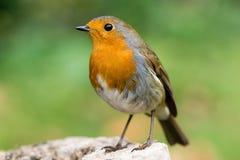 Robin (rubecula Erithacus) στο σχεδιάγραμμα Στοκ Φωτογραφίες