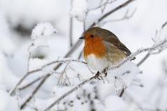 Robin, rubecula Erithacus Στοκ Φωτογραφίες