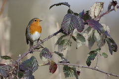 Robin, rubecula Erithacus Στοκ Εικόνα