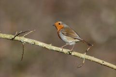 Robin, rubecula Erithacus Στοκ εικόνες με δικαίωμα ελεύθερης χρήσης