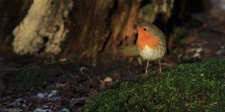 Robin (rubecula Erithacus Στοκ Εικόνες