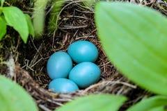 Robin& x27; s鸡蛋 免版税库存照片