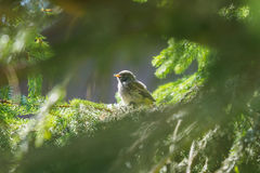 Robin`s baby in the nest Stock Images