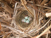 Robin's bird nest with four eggs Royalty Free Stock Images
