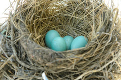Robin's Bird Nest Stock Photos