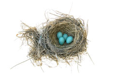 Robin's Bird Nest. Robins nest with 4 eggs in it. Isolated on a white background Royalty Free Stock Photo
