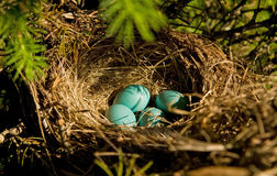 Robin's eggs Royalty Free Stock Photography
