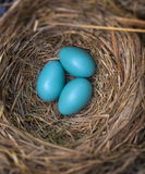 Robin's eggs. Blue robin's eggs in a nest royalty free stock photography